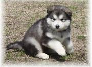BLACK AND SPOTTED WHITE MALAMUTE PUPPIES FOR SALE