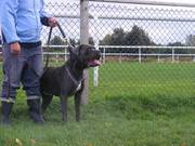 Cane Corso (Italian Mastiff) cross bulldog