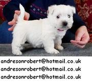 Stunning---KC Reg /Pedgree Papers West Highland White Terrier Puppies