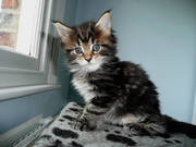 Fabulous Maine Coon kittens looking for new servants